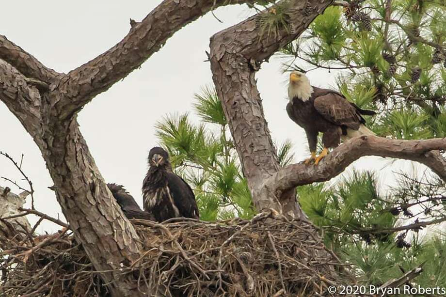 Dozens of people have turned out to see an active bald eagle nest, located near FM 2920 and Highway 249 in Tomball. Photo: Photo By Bryan Roberts / Courtesy Of Enjoy The Tomball Bald Eagles Facebook