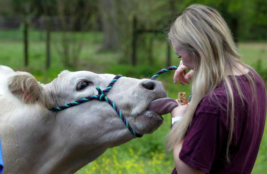 Magnolia senior Marie Yanchak feeds a treat to her 1,200-pound market steer, Gravy, at her parent's home, Friday, March 13, 2020, in Magnolia. Yanchak is hopeful Montgomery County officials and community members will find a way for local FFA students to show their livestock after Montgomery County Judge Mark Keough signed a declaration of local disaster for the county Thursday in light of the COVID-19 crisis canceling all public events with more than 250 people, including the Montgomery County Fair and Rodeo. Photo: Jason Fochtman, Houston Chronicle / Staff Photographer / Houston Chronicle  © 2020