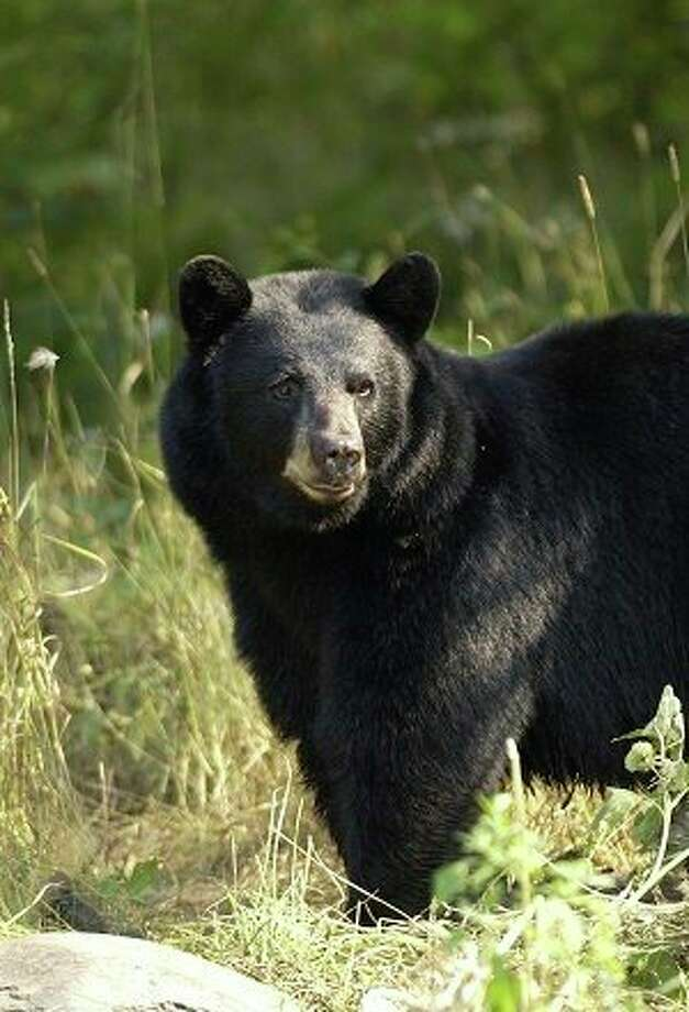 Black bears will be looking for food sources as it gets warmer. (DNR file photo) / Copyright 2003 State of Michigan