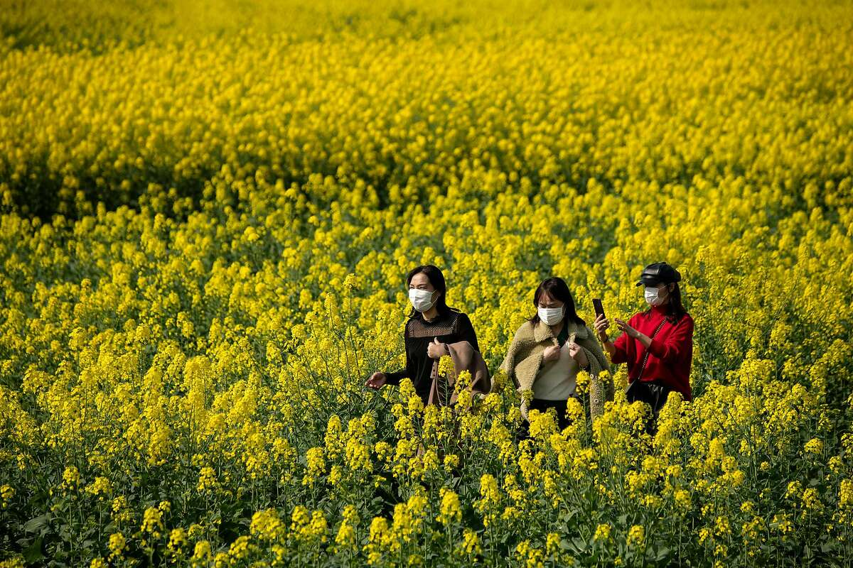 People wearing face masks walk through a field of rapeseed plants on a farm in Jiujiang, China's central Jiangxi province on March 14, 2020. Rapeseed is used to make canola oil.