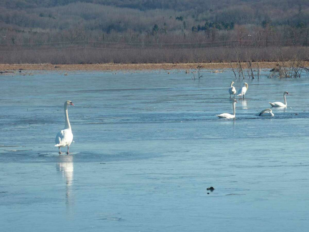 Water fowl congregate on receding ice at Arcadia Marsh. As the weather gradually warms, migratory bird species are expected to return to the area's birdfeeders and wilderness regions. (Scott Fraley/News Advocate)
