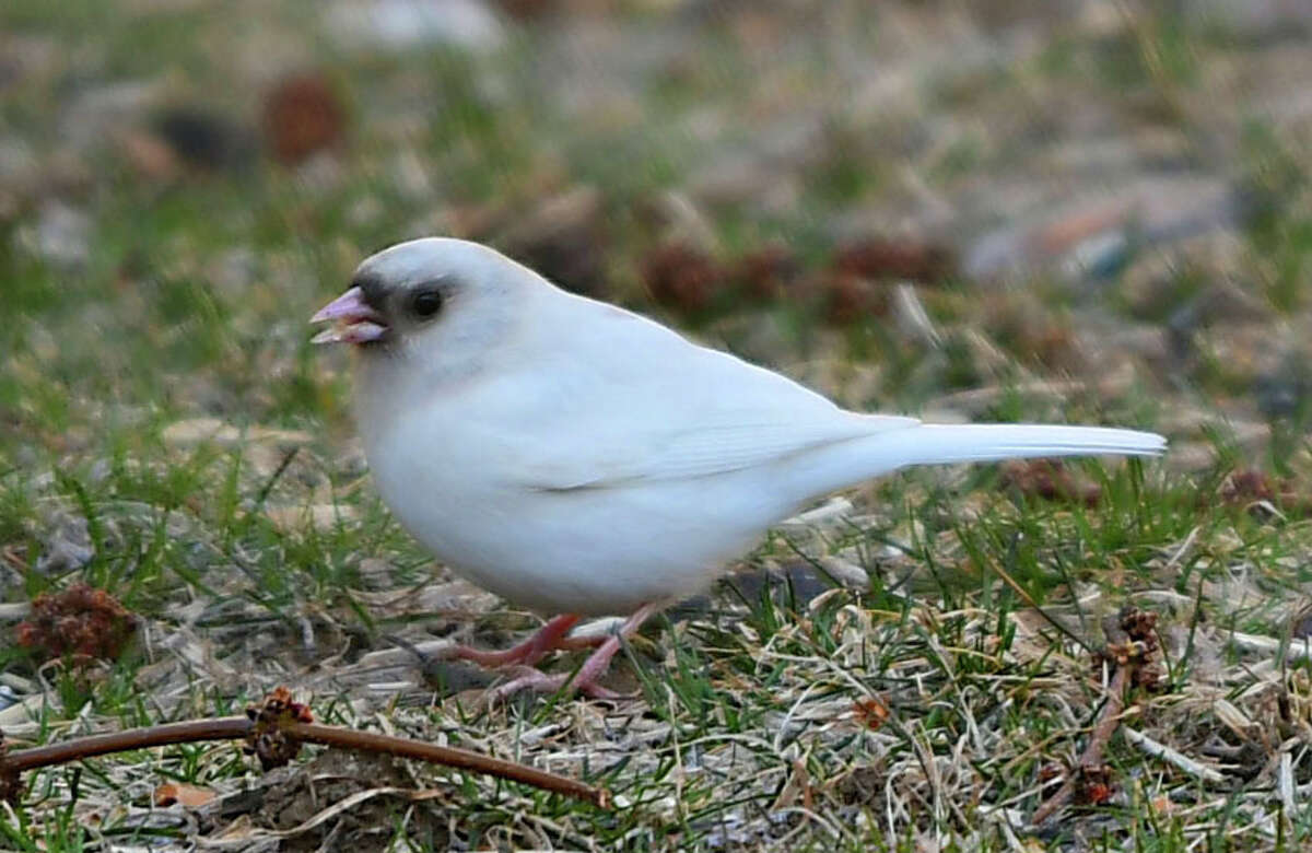 A week of rain is ahead in the Albany area but it shouldn't be wet enough to deter this guy's foraging. A partially albino junco is seen looking for food on the ground on Monday, March 16, 2020 in Albany, N.Y. (Lori Van Buren/Times Union)
