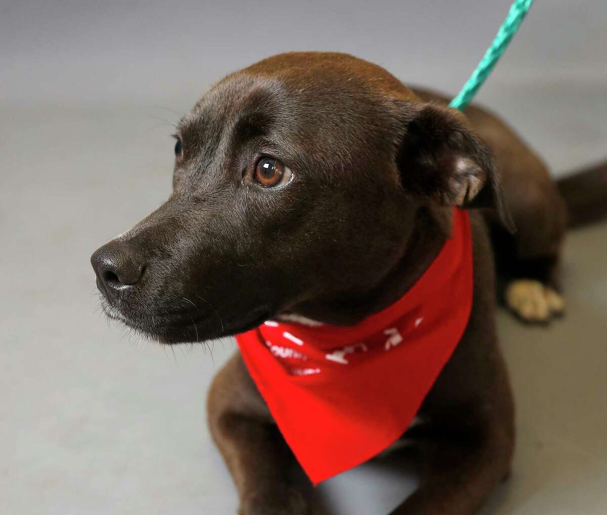 Sylvie (A551884) is a 1-year-old, female, Labrador Retriever mix available for adoption from the Harris County Animal Shelter, in Houston,Tuesday, March 17, 2020. Sylvie was brought into the shelter as a stray.