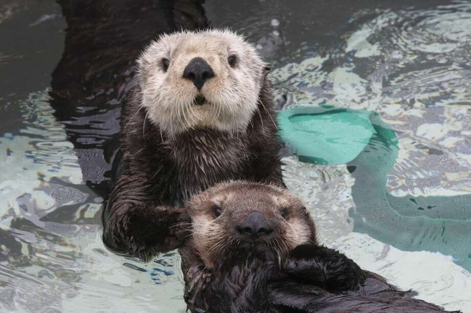 Sea otters at the Monterey Bay Aquarium. Photo: ©Monterey Bay Aquarium