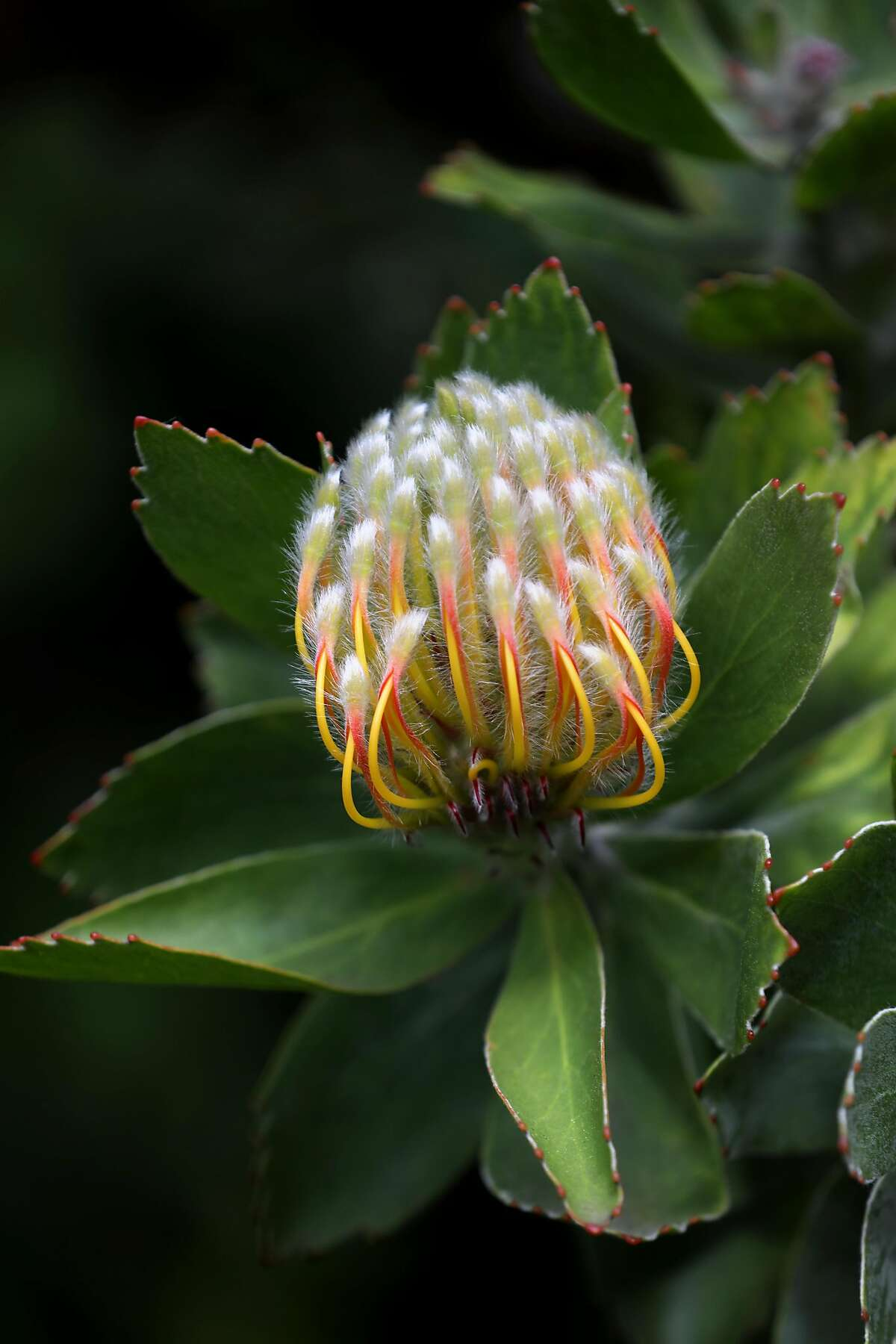 Proteaceae Leucospermum �Veldfire� seen at the South Africa garden in SF Botanical Gardens on Friday, March 13, 2020, in San Francisco, Calif.