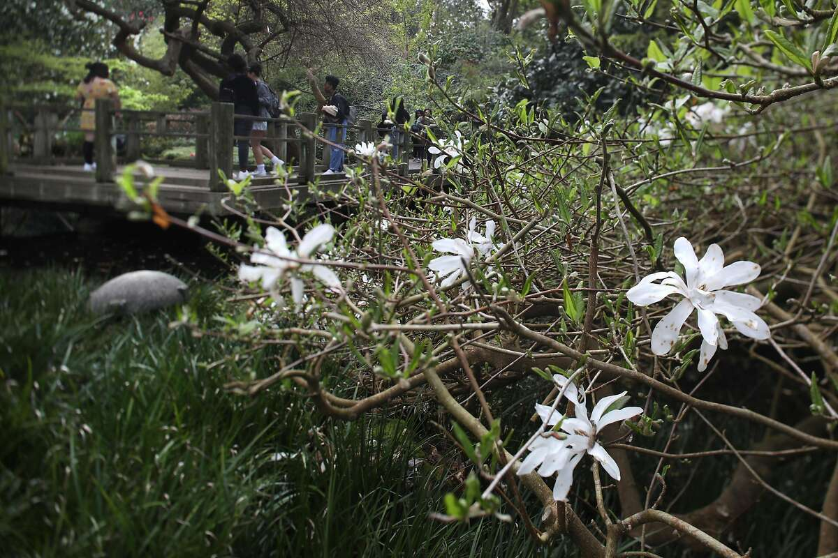 Magnolia Loebneri �Ballerina� seen at Moon Viewing Garden at the SF Botanical Gardens on Friday, March 13, 2020, in San Francisco, Calif.
