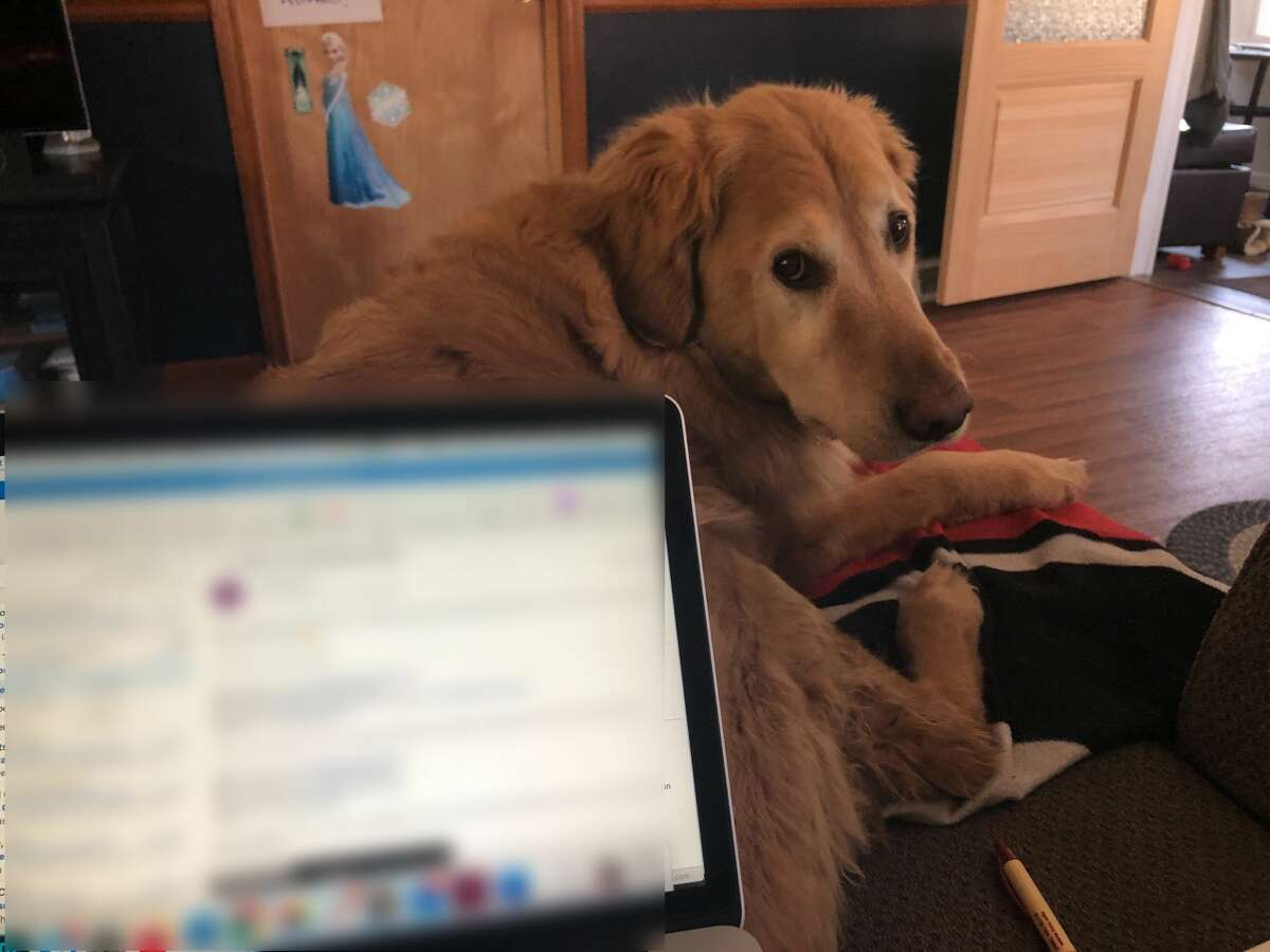 Working from home with your pet? Send us a photo! Send a photo with your name, your pet's name and your hometown in an email to submit@timesunion.com. Jake is a tough supervisor. He demands you type and give scratches at the same time.