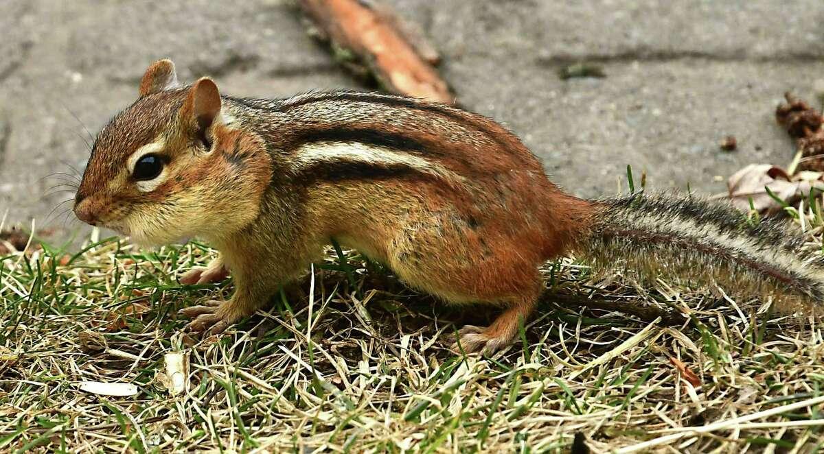 A chipmunk is seen hoarding nuts on Wednesday, March 18, 2020 in Albany, N.Y. (Lori Van Buren/Times Union)