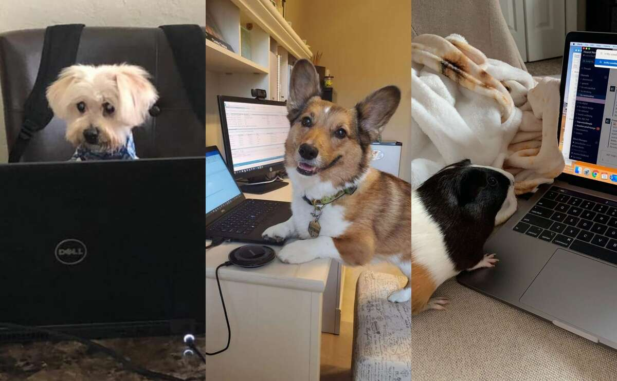 PHOTOS: Houston's favorite new coworkersWith most of the city working from home, we asked readers to send in photos of their new favorite coworkers: their pets.>>>See more for Houston's adorable pet coworkers...