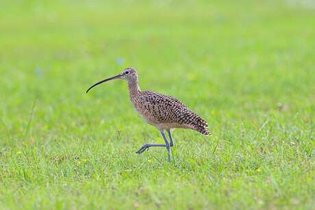 Long-billed curlew can still be seen on coastal prairies. The related Eskimo curlew is probably extinct. Photo Credit: Kathy Adams Clark Restricted use.