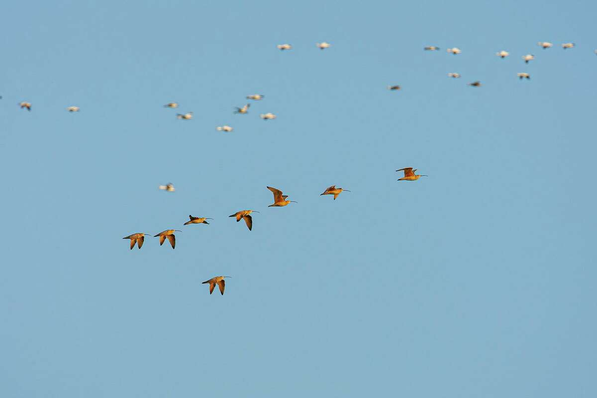 Long-billed curlew flying over the coastal prairie with snow geese on a winter morning. The related Eskimo curlew is probably extinct. Photo Credit: Kathy Adams Clark Restricted use.