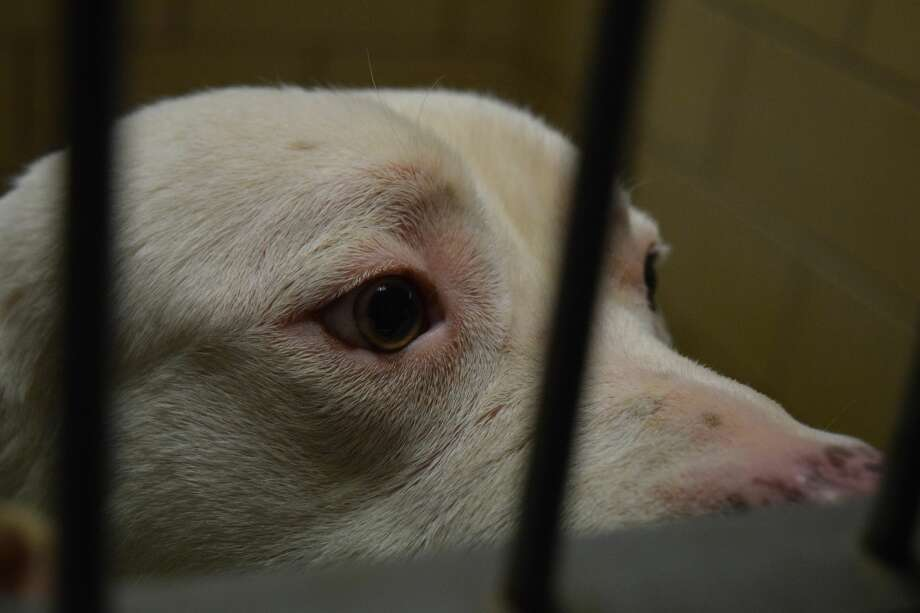 A shelter dog looks past the bars of a kennel at the Plainview Animal Shelter. Photo: Ellysa Harris/Plainview Herald