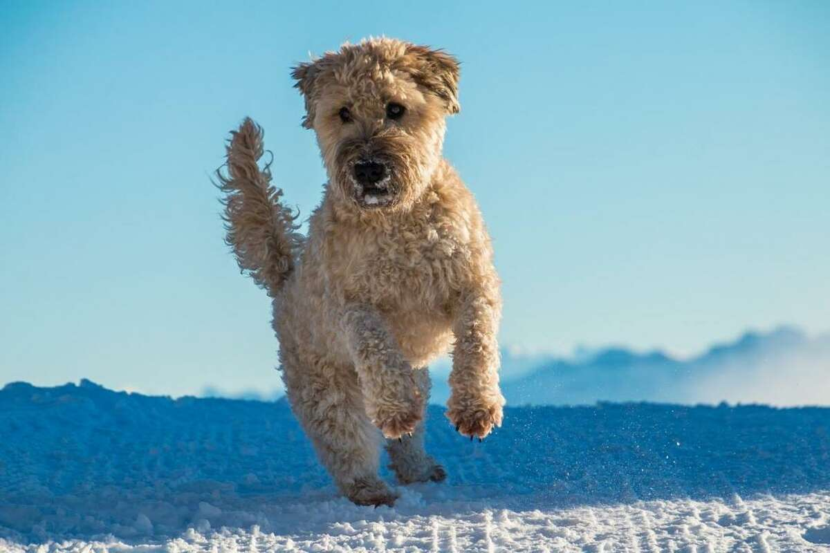 #40. Soft coated Wheaten terrier (tie) - Understanding of new commands: 25 to 40 repetitions - Obey first command: 50% of the time or better Originally bred as an Irish hunting dog, the soft coated Wheaten terrier has been described as