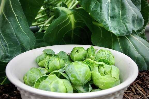 Brussels sprouts are iffy growers in the Houston area, but once in a while a gardener gets lucky.