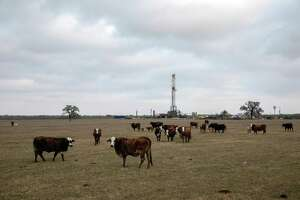 Cattle graze near an oil rig in Karnes County, Texas, March 12, 2020. Leaner days are back in the oil patch of South Texas, but even as some itinerant workers are moving on, full-time residents of Karnes City and the surrounding county are not panicking, at least not yet. (Tamir Kalifa/The New York Times)