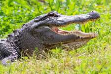 An alligator smiles as he sits on the side of the marsh across from the parking lot on March 12, 2020. Fran Ruchalski/The Enterprise