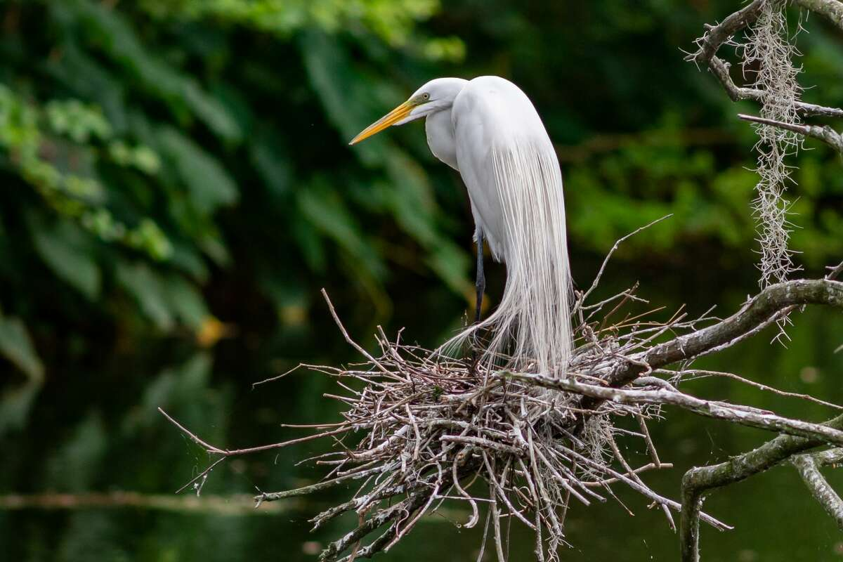 An egret stands on her nest in the rookery at Shangri La Botanical Gardens on March 14, 2020. Fran Ruchalski/The Enterprise