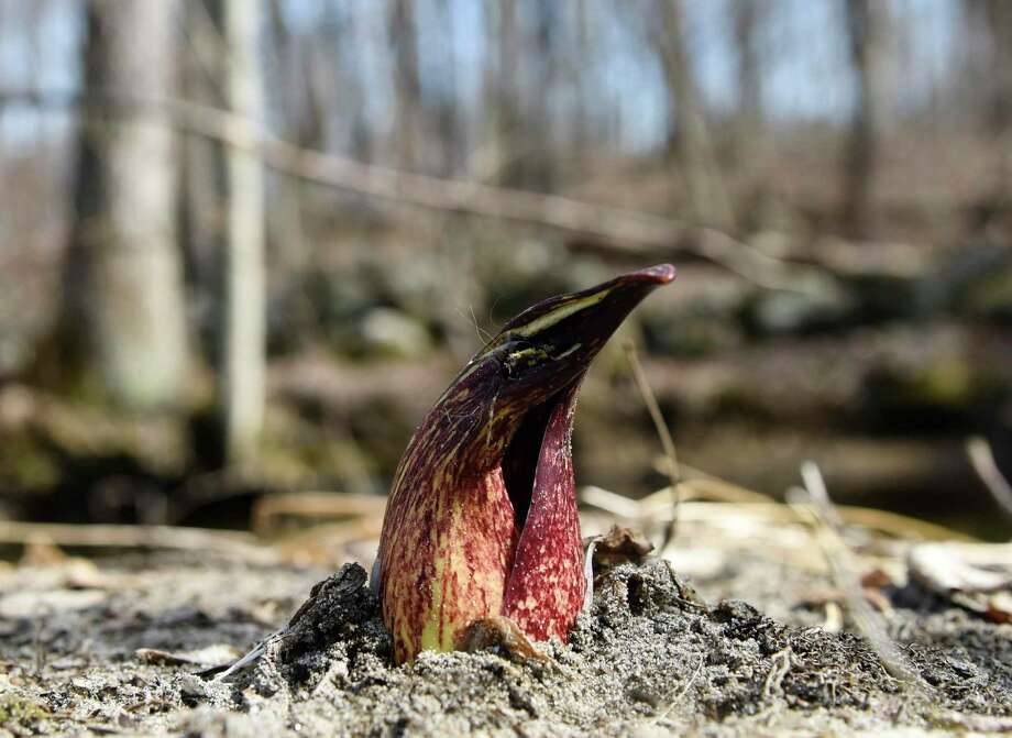 A skunk cabbage peeks through the ground during the Greenwich Land Trust first day of spring walk at the Babcock Preserve in Greenwich on March 20, 2019. The Babcock Preserve is a vast 300-acre forest maintained as a natural conservation area that includes a huge variety of plant and animal life. Photo: Tyler Sizemore / Hearst Connecticut Media / Greenwich Time