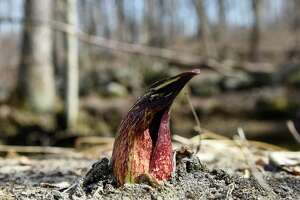 A skunk cabbage peeks through the ground during the Greenwich Land Trust first day of spring walk at the Babcock Preserve in Greenwich on March 20, 2019. The Babcock Preserve is a vast 300-acre forest maintained as a natural conservation area that includes a huge variety of plant and animal life.