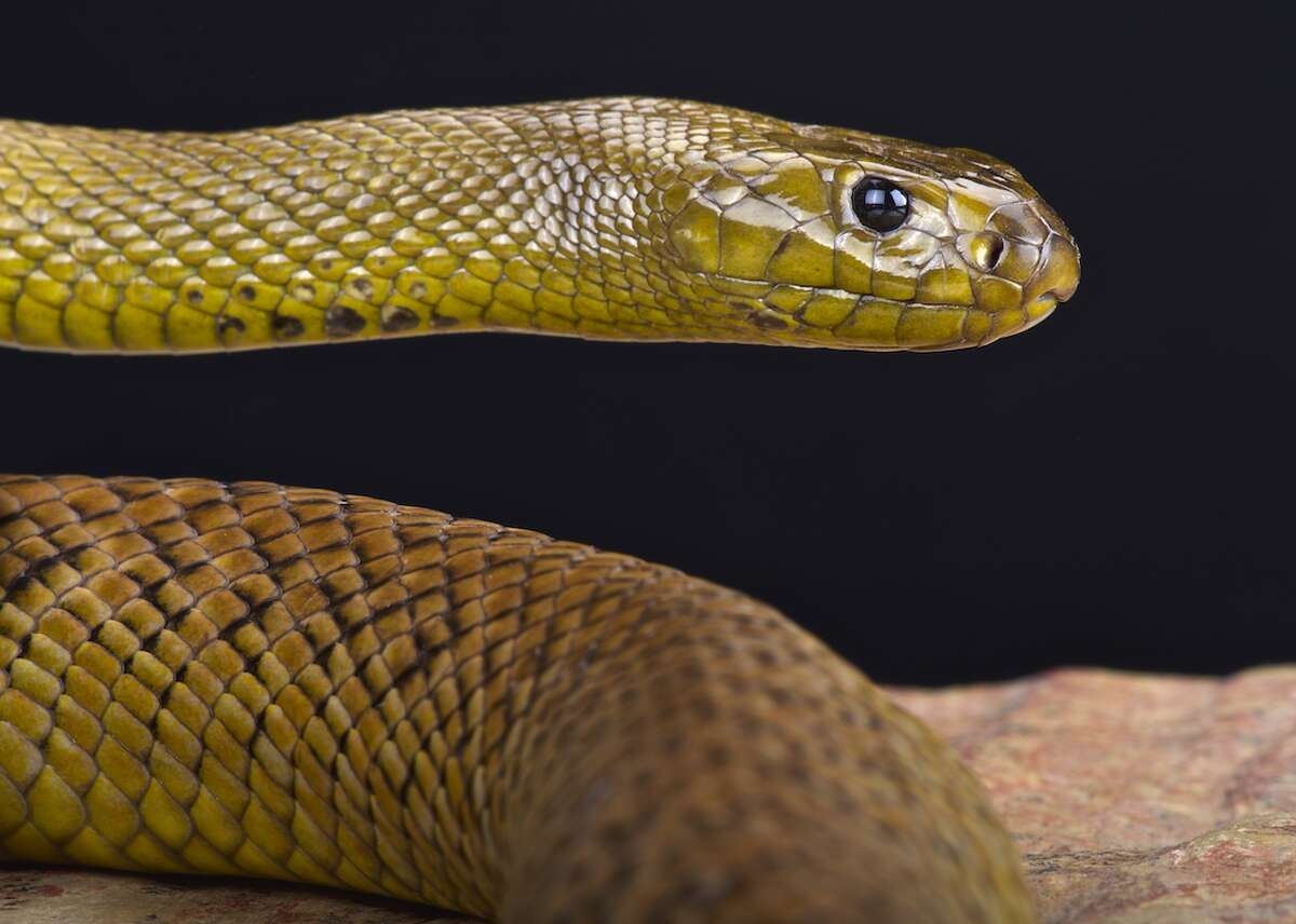 Inland taipan: venom Venom and poison are not the same:Poison makes you sick if you bite the animal, and venom makes you sick if the animal bites you. The primary function of venom is to disable the snake's prey but it can also serve as a defense against predators. Possibly the most dangerous venomous snake is the inland taipan of Australia, which has the most toxic venom and injects the largest amount with each bite. This slideshow was first published on theStacker.com