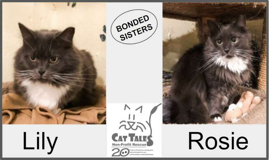 Lily and Rosie are beautiful, medium and long haired, bonded sisters, about 2 years old,looking to be adopted together. Rosie is the shy one and Lilly is a bit more outgoing but both love to be brushed and will nuzzle and purr when someone spends time grooming their gorgeous gray fur. Lily loves little toys and is talkative! Rosie has a unique little bend in her tail. While Rosie is FIV+, with proper care she can live as long as any other cat. They are looking for a quiet, loving home and most importantly, to be together. Come to meet them to see if they are a match for you. Visit http://www.CatTalesCT.org/cats/Rosie, email: info@CatTalesCT.org, or call 860-344-9043 Photo: Cat Tales / Contributed Photo