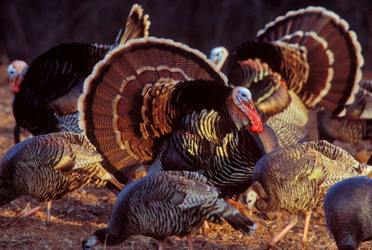 Spring turkey hunting is an exhilarating sport that is played out on colorful stages across Texas each year, all in the came of luring a mature longbeard into shotgun range, 40 yards or less. The Rio Grande turkey is the most abundant of three subspecies of wild turkeys found in Texas. The current population is estimated at around 600,000 birds. (Photo courtesy of the National Wild Turkey Federation)