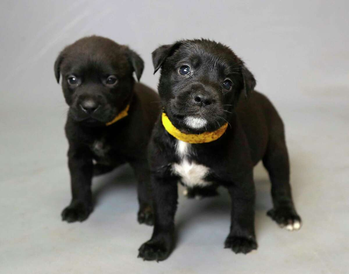 Five-week-old puppies Spam (A551869), foreground, and his brother Jam (A551877) are available for adoption from the Harris County Animal Shelter, March 17, 2020.