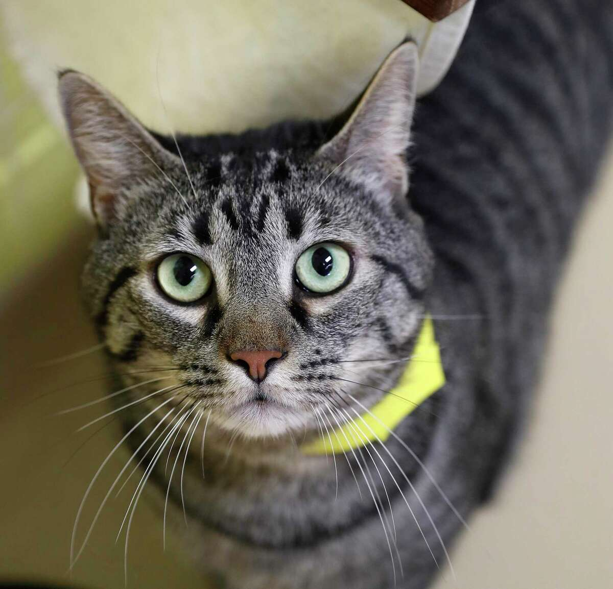 Hannibal (A552171) is a 4-year-old, male, brown tabby domestic shorthair available for adoption from the Harris County Animal Shelter, in Houston,Tuesday, March 17, 2020. Hannibal was surrendered by his owners, but is reported to love men and women, is litterbox trained and travels well in a carrier.