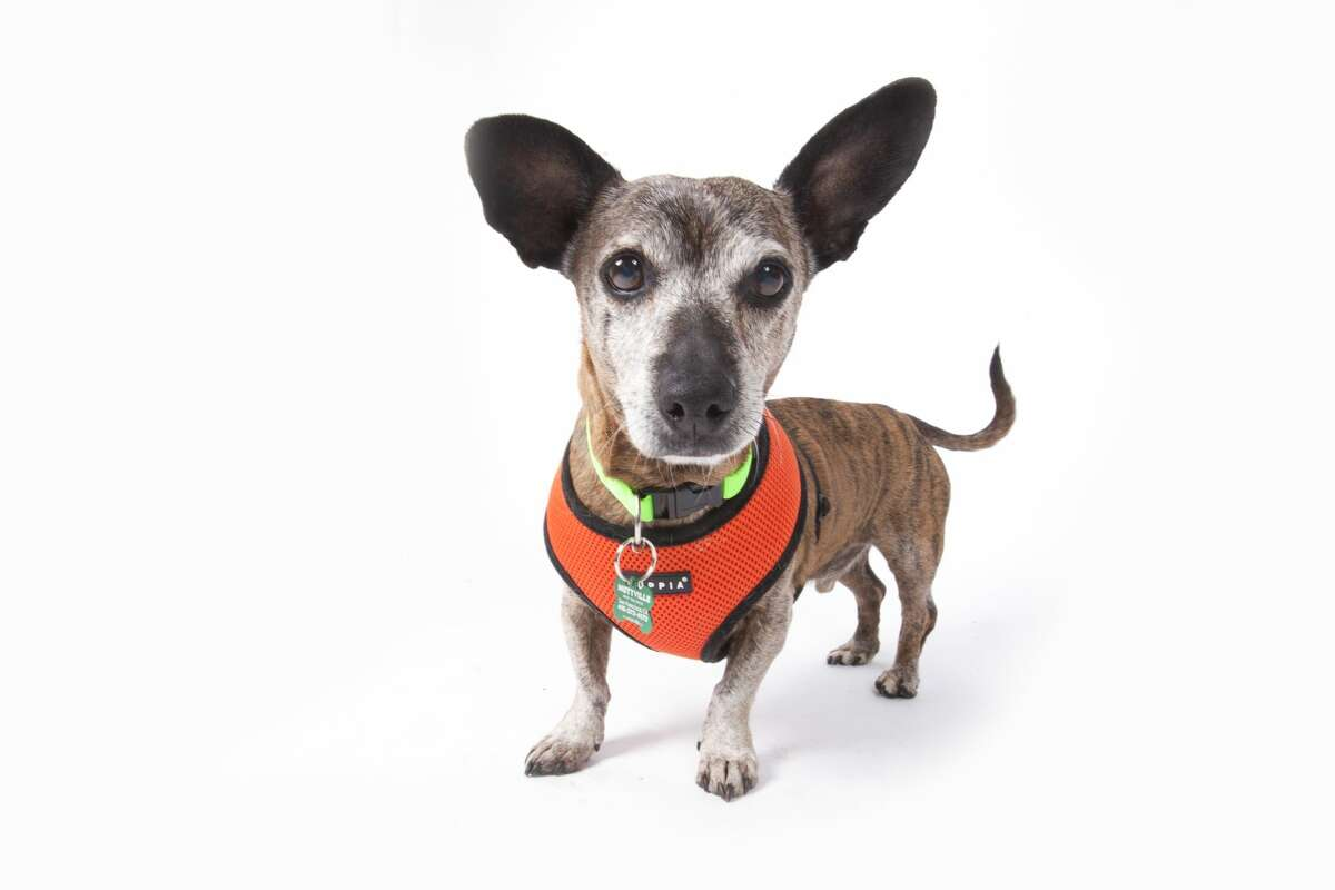 Patrick is available for adoption at MuttvilleSenior Dog Rescue.