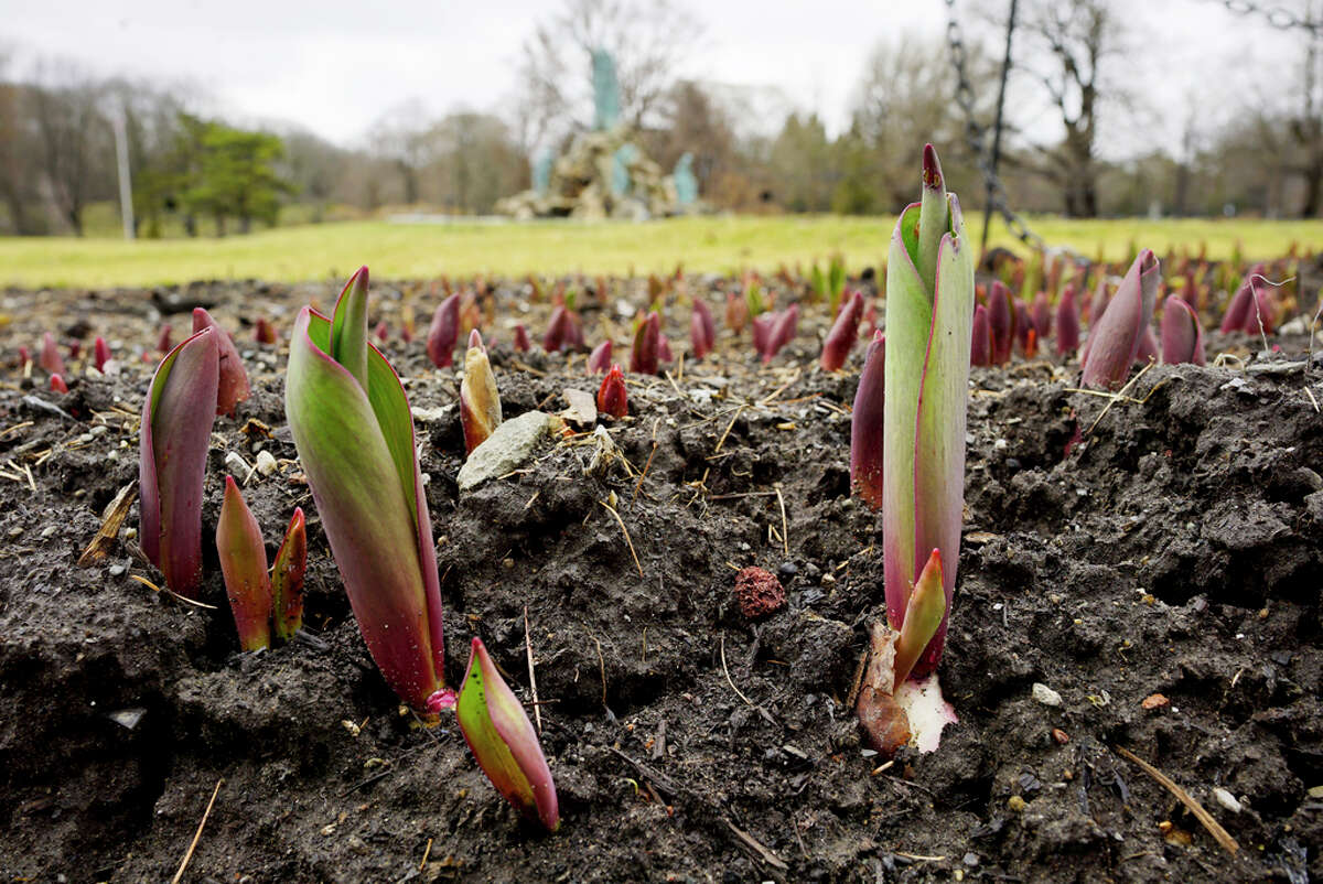 Tulips are shooting up on the first day of spring at Washington Park on Thursday, March 19, 2020, in Albany, N.Y. (Paul Buckowski/Times Union)