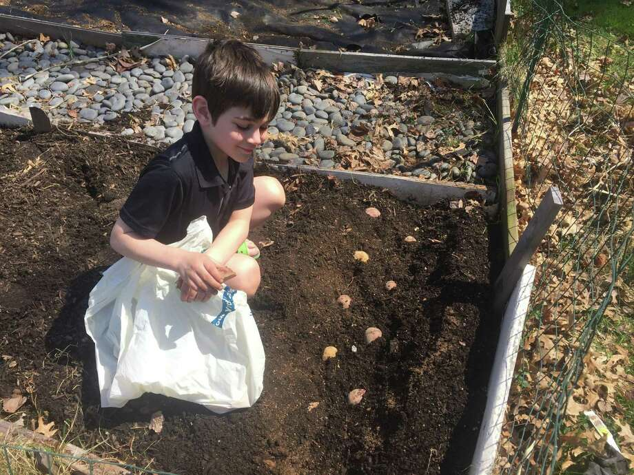 A boy plants seed potatoes in a raised bed in Wethersfield. Photo: Joe Amarante / Hearst Connecticut Media