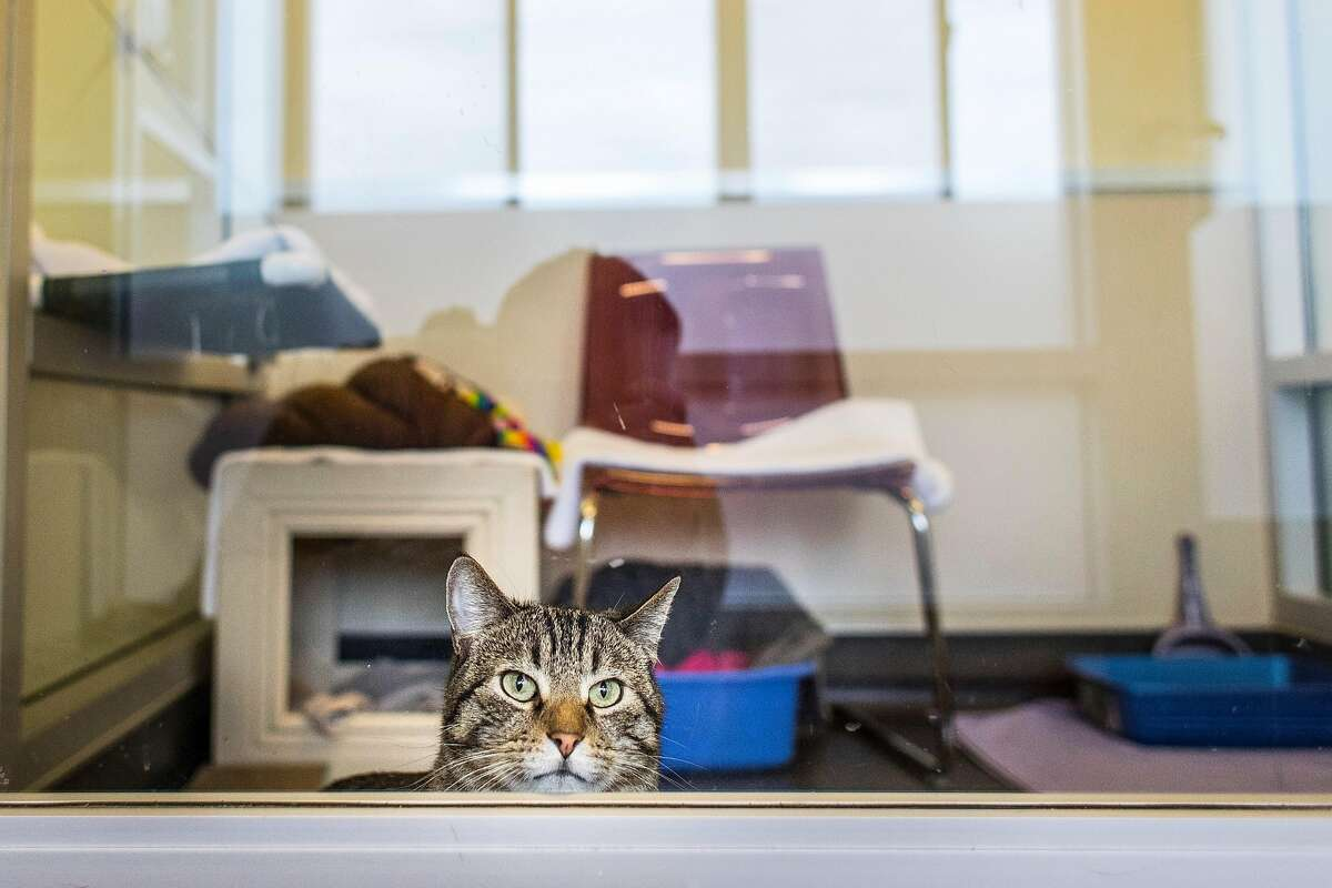 """Kitty looks out the window of her """"dorm room"""" at the Peninsula Humane Society and SPCA in Burlingame, Calif. on Tuesday, March 24, 2020."""