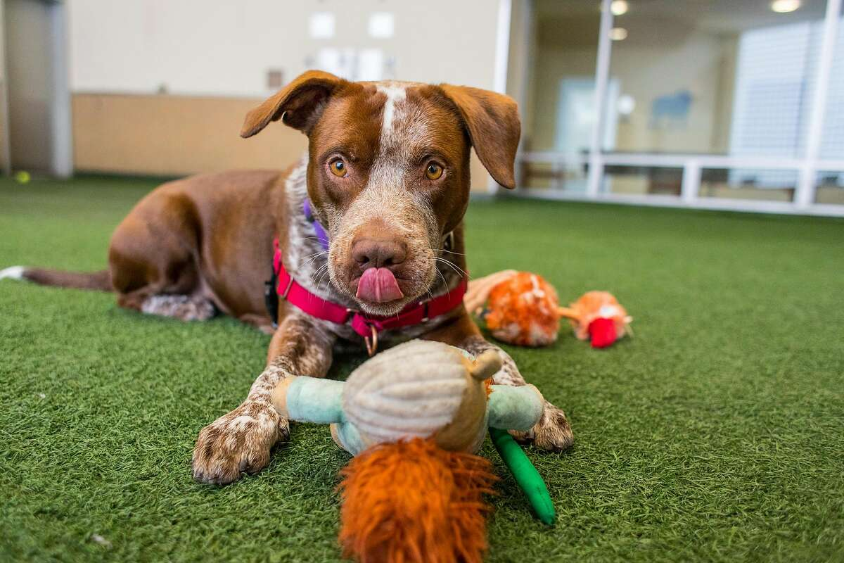 Bingo licks his lips while playing with a toy at the Peninsula Humane Society and SPCA in Burlingame, Calif. on Tuesday, March 24, 2020.