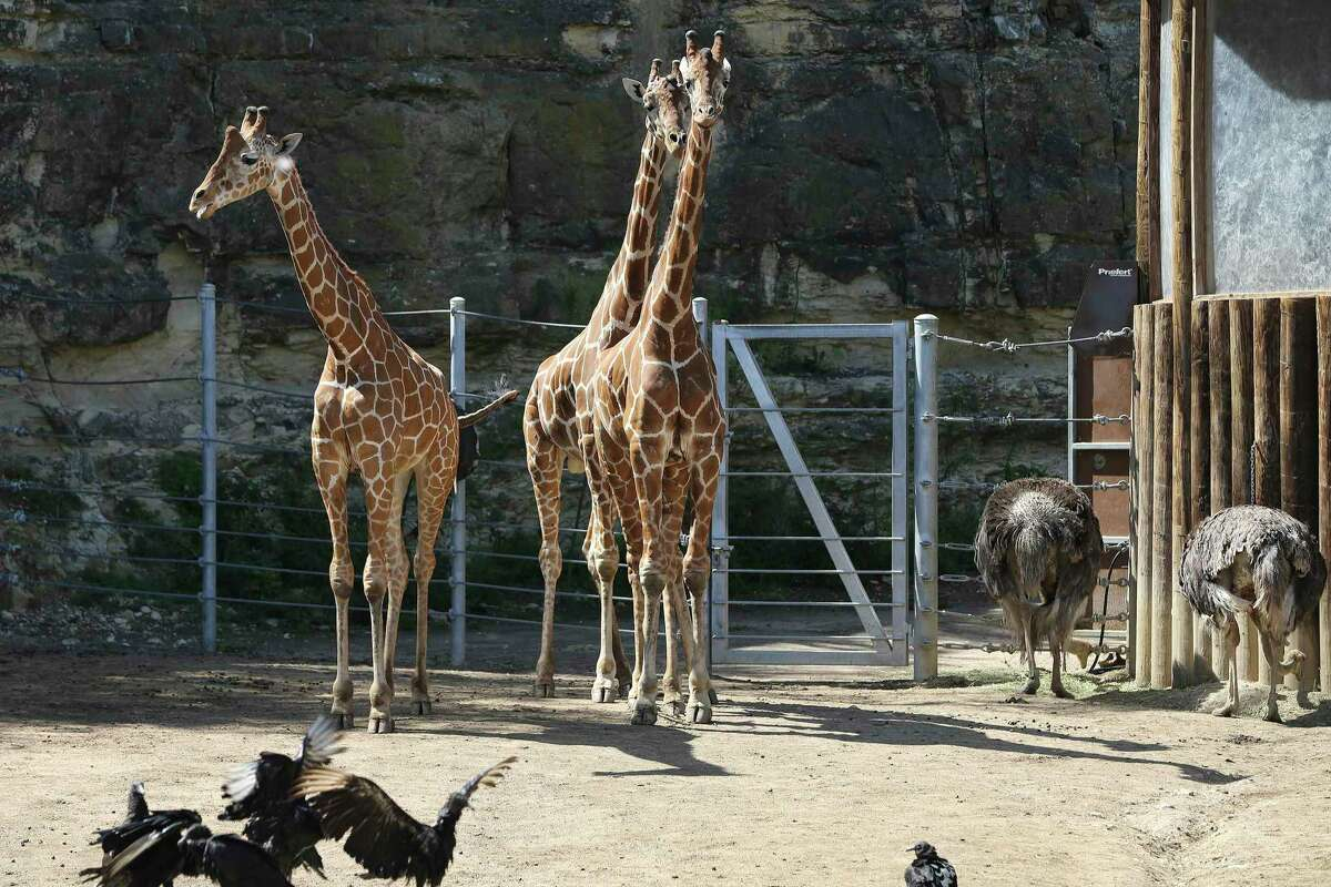 The San Antonio Zoo is still waiting for the green light to reopen after being closed due to the coronavirus pandemic, but in the meantime a new drive-thru way to see the animals will be launched this weekend.