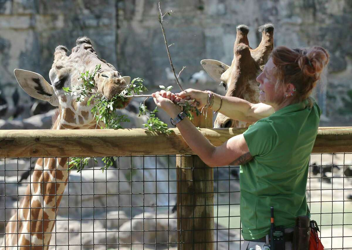 Melannie Lough, senior animal care specialist at the San Antonio Zoo feeds the giraffes at the Africa Live! exhibit on Tuesday, Mar. 24, 2020. The zoo has had to furlough some of its employees because of the coronavirus pandemic, which forced its closure. But an essential staff of animal care specialists are still on duty to care for the animals.