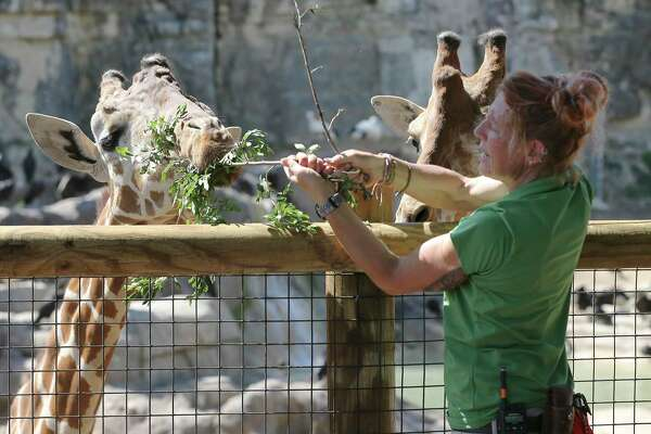 Melannie Lough, senior animal care specialist at the San Antonio Zoo feeds the giraffes at the Africa Live! exhibit on Tuesday, Mar. 24, 2020. The zoo has had to furlough some of its employees because the coronavirus pandemic which forced its closure. But an essential staff of animal care specialists are still on duty to care for the animals.