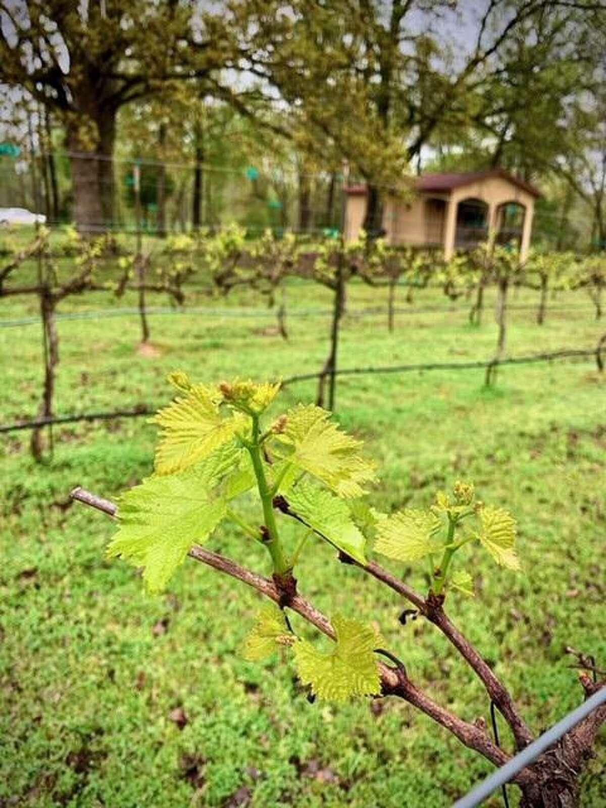 Bud break in a vineyard at the Los Pinos vineyard in northeast Texas.