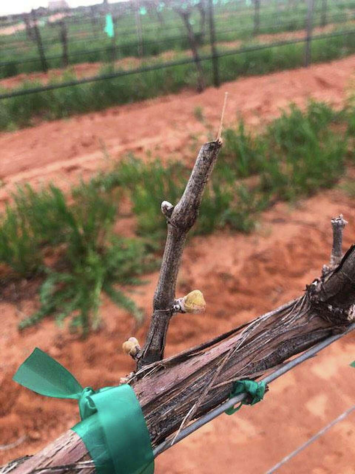 A vine experiencing bud break at Reddy Vineyards in the Texas Panhandle.