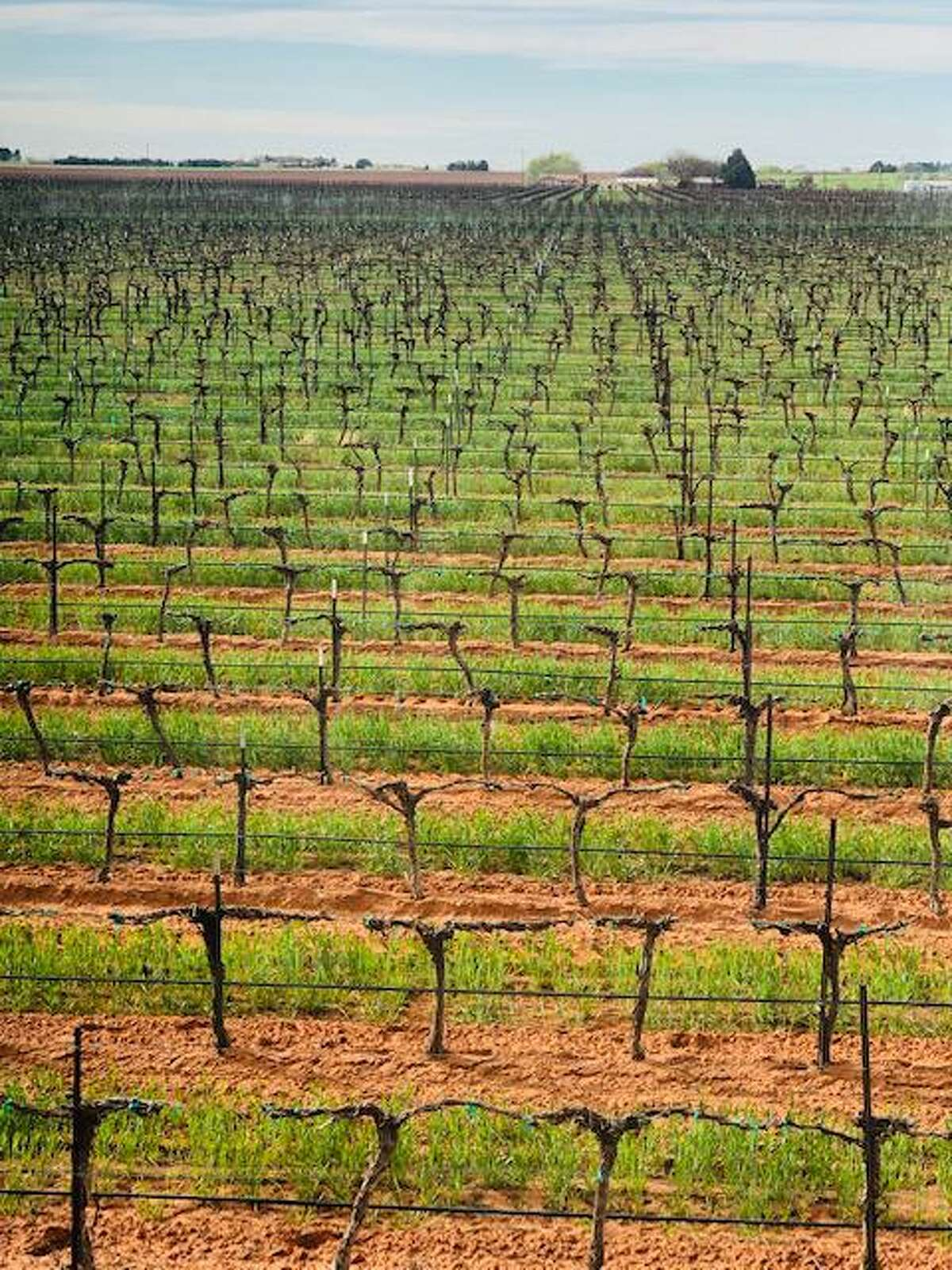A look across the expanse at Reddy Vineyards in the Texas Panhandle.