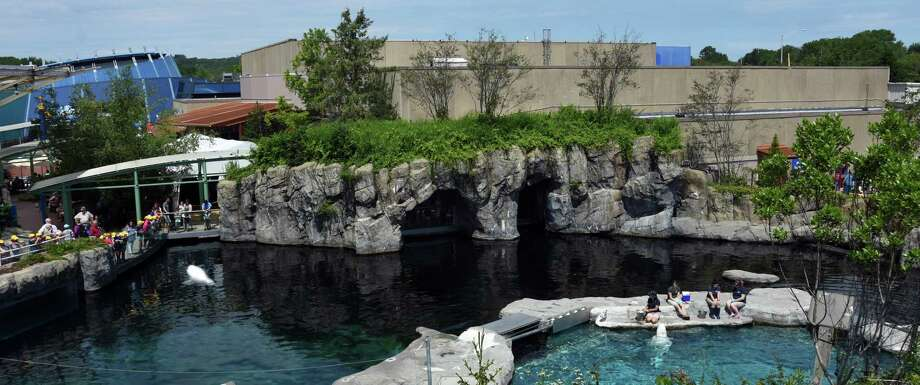 Mystic Aquarium, seen here, is offering live Facebook events daily at 11 a.m., featuring species from beluga whales to green moray eels. The Maritime Aquarium at Norwalk is also holding live Facebook Q&As on a variety of subjects; they take place daily at 3 p.m. Photo: Cheryl E Miller / Cheryl E. Miller/ Mystic Aquarium 2017