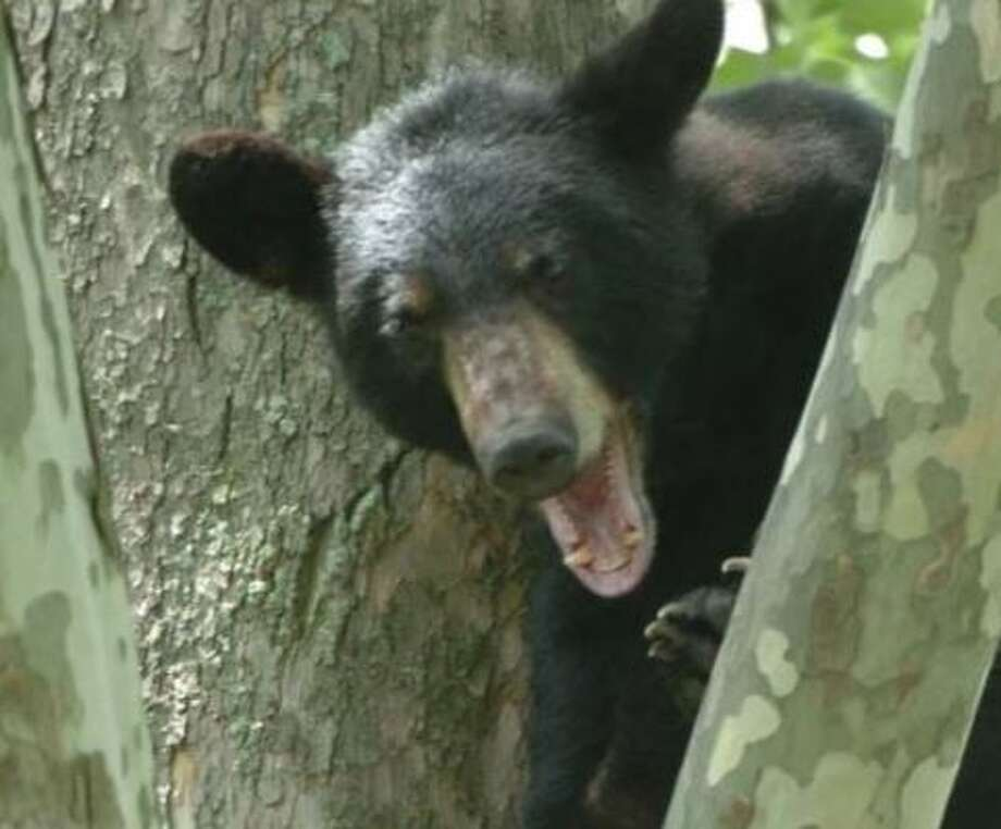 It's spring and bears are emerging from their dens. Photo: Times Union File Photo