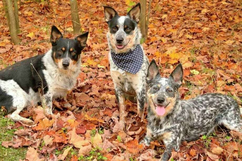 Mandy Schram shared a photo of her favorite puppies for National Puppy Day this week. (From left) Roscoe a nine year old cowboy corgi, Johnny a two year old cowboy corgi and Lou Lou a five year old Australian cattle dog. (Courtesy Photo/Mandy Schram)