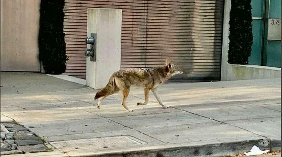 A coyote in San Francisco during the coronavirus shutdown. Photo: Twitter / @manishjumar457