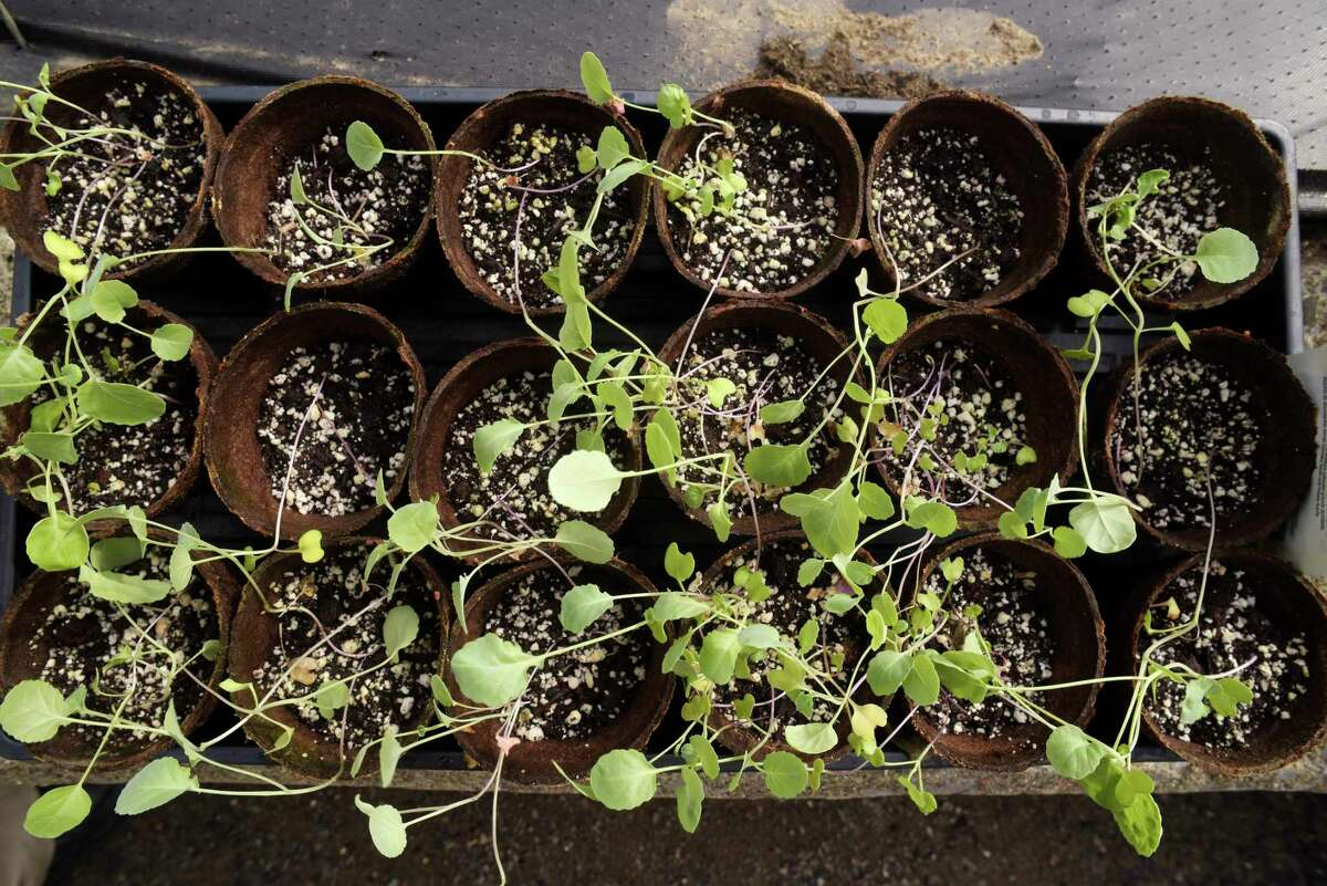 A view of some broccoli plants before being planted in 2018 in Albany. (Paul Buckowski/Times Union)