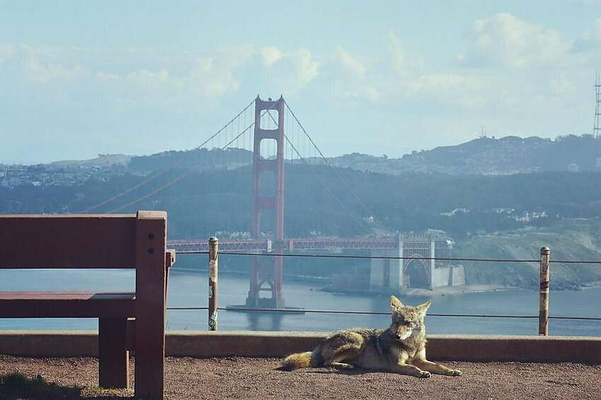 A coyote in the Marin Headlands