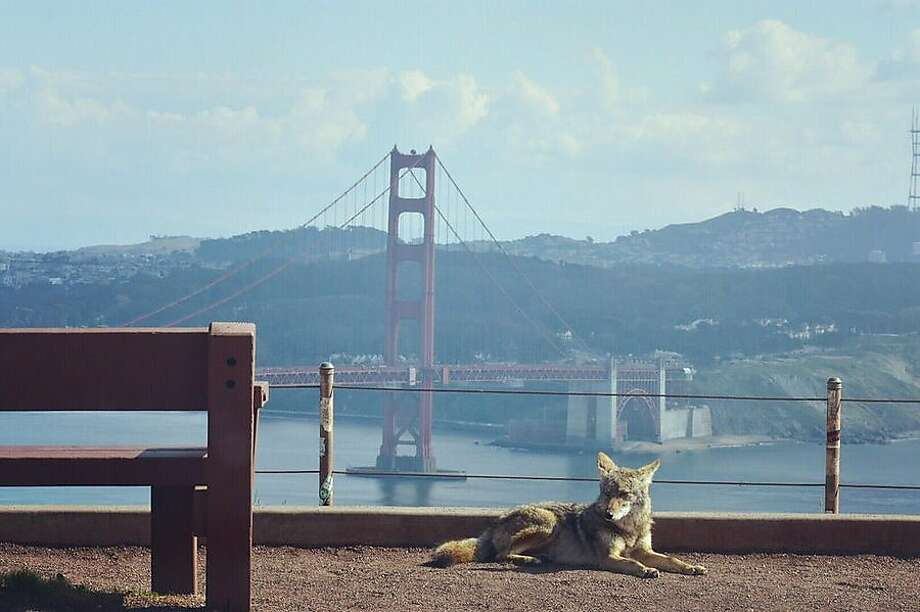 A coyote in the Marin Headlands Photo: @_lugaresymas / Twitter