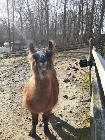 Summer, a llama on loan from Rowanwood Farm in Newtown, is at the Stamford Mueum & Nature Center. Her Cria are due end of spring.