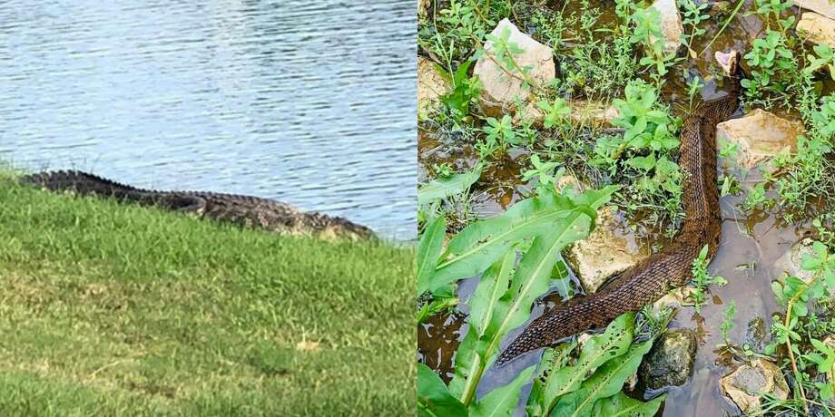 A large-sized gator was recently spotted in Fulshear's Cross Creek Ranch neighborhood and a water moccasin snake was spotted in Katy's Firethorne subdivision. Photo: Fort Bend County Sheriff's Office