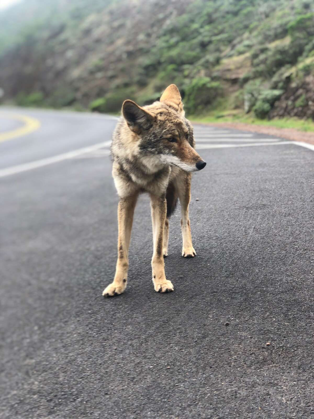 A coyote in San Francisco, March 2020, sent in by reader Charles Linder