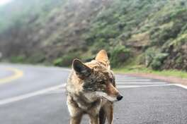 A coyote in San Francisco